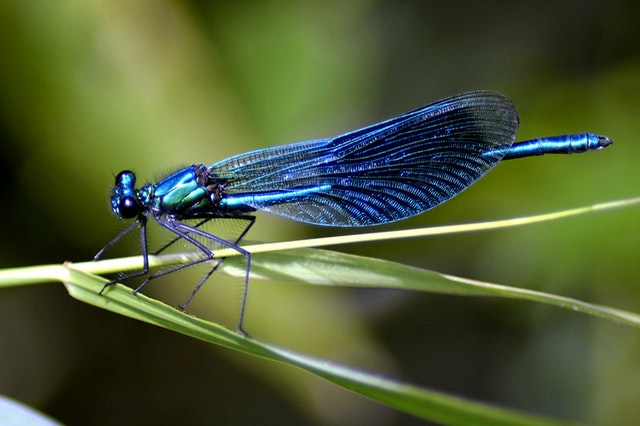 The Dragonfly—a Beautiful Predator's Ugly Roots